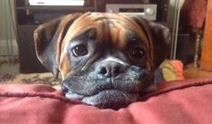 If you are considering to own a boxer, or you've just become a new boxer owner, there are some realities you do need to fully accept...