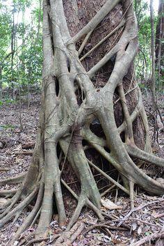 Ficus watkinsiana    A strangler fig, strangling a eucalypt at Binna Burra, Lamington National Park.