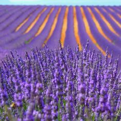 Fields of lavender in France Lavender Wreath, Lavender Garden, Lavender Blue, Lavender Fields, Lavender Flowers, Provence Lavender, French Lavender, Lavenders Blue Dilly Dilly, Beautiful Flowers
