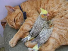 Kitty and cockatiels