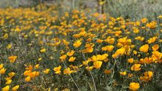 The desert is blooming! Heres your 2020 Tucson wildflower watch 🌼 | tucson life | tucson.com