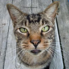 Pet Photography, Kitty Cat, Meow, Tiger Cat, Tabby, Close up cat, Pick Me Up Already, 5x5 Fine Art Print via Etsy