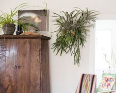 staghorn fern  9indoor | Staghorn fern