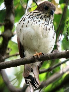 Spot-tailed Sparrowhawk