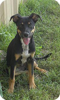 Pilot Point, TX - Shepherd (Unknown Type) Mix. Meet MAGGI, a puppy for adoption. http://www.adoptapet.com/pet/11364806-pilot-point-texas-shepherd-unknown-type-mix