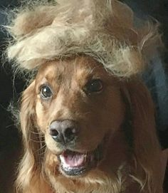 Ziggy doing his best Trump impersonation....he's less of an animal though