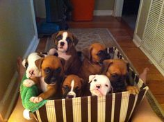 Box of Boxers #boxerdogs #puppy #dogs If I found a box of boxer puppies on my porch, I would be SO happy!