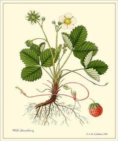 Wild Strawberry Antique Botanical print от PosterPlace на Etsy