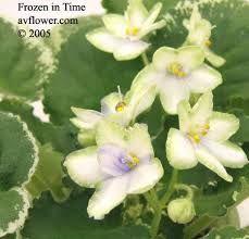 Kuvahaun tulos haulle saintpaulia kukka