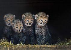 4 cuccioli di ghepardo