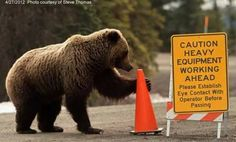 Grizzly Bear Kingdom on Facebook, Google+ A bear's work is never done.