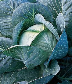 King Slaw A massive cabbage that can grow to 20 pounds. If it is spaced closely together, however, it can form smaller, 15 pound cabbages. Cabbage Plant, Cabbage Seeds, Cabbage Vegetable, Fruit And Veg, Fruits And Veggies, Green Veggies, Burpee Seeds, Cooking Pork Chops, Fresh Beets