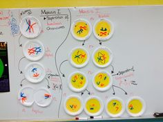 Phases of meiosis activity. Students get a plate and showcase each phase of meiosis on it. Biology Classroom, Biology Teacher, Science Biology, Teaching Biology, Life Science, Forensic Science, Computer Science, Cell Biology, Science Books