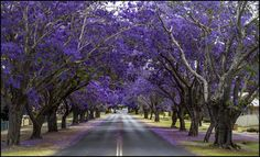 Jacarandas can now be found right around Australia, like here in Grafton, New South Wales. | Definitive Proof That Jacarandas Are The Most Beautiful Trees