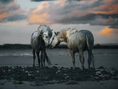 """Equine By Wengdahl (@equinebywengdahl) sur Instagram : """"Two Camargue stallions . . . . #equinebywengdahl #camargue #equine #equineart #equinelove…"""""""