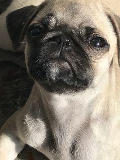 Psi, Pug Mug, Baby Pugs, Pug Pictures, Pug Puppies, Cute Pugs, Pekingese, Hound Dog, Donkeys