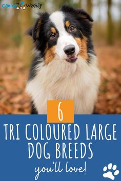If you like the look of the tricolor but aren't sure which breed would be most suitable for your family and home, then this post should help you decide on the best fit. Here are 6 tri-colored large dog breeds that you'll love. Top Dog Breeds, Large Dog Breeds, Big Dogs, Large Dogs, Caucasian Shepherd Dog, Protective Dogs, Dog Suit, Swiss Mountain Dogs, Search And Rescue
