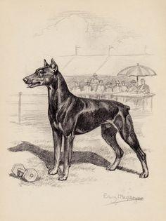 Vintage DOBERMAN Print of a Doberman Illustration by plaindealing