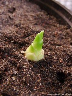 Хотите вырастить имбирь дома? Февраль - лучший месяц для посадки!