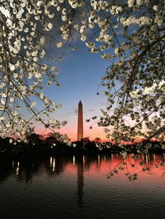 Jefferson Memorial in Washington, DC - backdrop to Cherry blossoms in full bloom