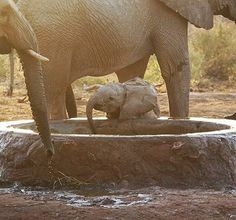 The waterhole at the #DSWT is the place to be for elephants of all ages! We always make sure that the waterhole Ithumba Reintegration Unit is topped up, making it a favorite pit stop for wild herds — especially during the dry season. The orphans in our care love mingling with the visitors, learning from their wild ways, and meeting the little calves they often bring along! We're constantly working behind the scenes to make Kenya a safer place for these elephants. Learn more about our work…