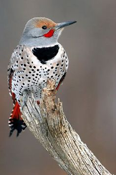 A woodpecker, YellowHammer aka northern flicker, Alabama State Bird