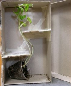 Science lesson: to demonstrate the way plants grow towards the sun. Plants need sun!