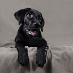 Image detail for -Lovely black labrador retriever puppy over gray background Stock Photo ...