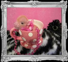 Mini Micro Pigs - Miniature Pigs - Teacup Pigs - Juliana Pigs ~someday I will have! Mini Teacup Pigs, Teacup Piglets, Mini Pigs, This Little Piggy, Little Pigs, Pocket Pig, Juliana Pigs, Animals Beautiful, Cute Animals