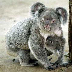 Koalas -- hold on kid! -- from Baby Animal Alphabet