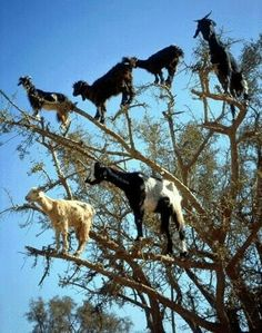 Chèvres acrobates