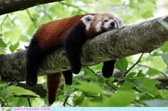 this is how all red pandas sleep. omg i am a red panda. i thought this was a racoon for the longest time though