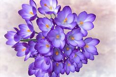 Purple Crocus by Phyllis Taylor