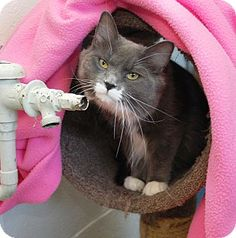 Mt Vernon, NY - Domestic Longhair. Meet Sophia a Cat for Adoption.