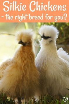Silkie chickens : why they're the teddy bear of the poultry world. Silkie chickens: cuddly, kind, non-aggressive roos, good broodies – but are they the right chicken breed for your family? Find out, here! Chicken Feed, Fresh Chicken, Chicken Eggs, Chicken Coops, Chicken Breeds For Eggs, Bantam Chicken Breeds, Chicken Tractors, Chicken Lady, Chicken Houses