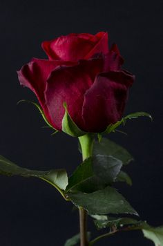Burgundy red rose on black background Special Flowers, Wonderful Flowers, Beautiful Roses, My Flower, Red Flowers, Beautiful Flowers, Beautiful Wife, Belle Image Nature, Nature Verte