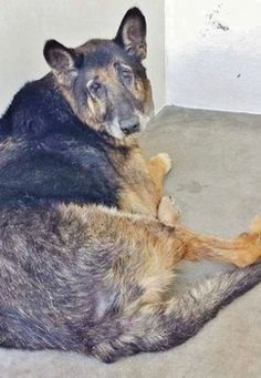 Still shows as available and in need of rescue or adoption. abandoned German shepherd: Barks sound as if he is crying 'help me' Cole is he shouldn't be in a high kill shelter. Please help him. German Shepherd Barking, Rescue Dogs, Animal Rescue, Stop Animal Cruelty, 12 Year Old, Help Me, Pet Care, Pet Adoption, Fur Babies
