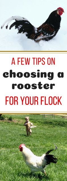 Some helpful tips on choosing the best rooster for your flock. Good criteria to keep in mind, if you're going to buy a rooster. Personally, I hate roosters with a fiery passion. Keeping Chickens, Raising Chickens, Natural Parenting, Chicken Eggs, Chickens Backyard, Hens, Livestock, Flocking, Farm Life