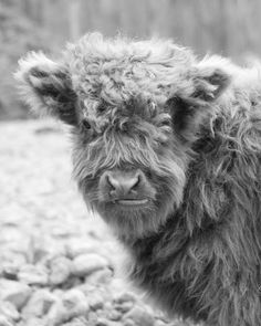 Baby Scottish Highland Hairy Cow - 8x10 Black and White Animal Photography Print
