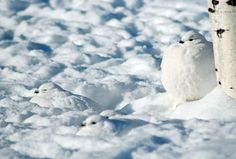 Ptarmigan May Be Tops in Adapting to Winter Weather | Audubon