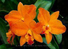 Apricot Glow – a Hazel Boyd Sophrolaeliocattelya Orchid  © 2009 Patty Hankins