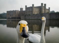 Leeds Castle, Kent. Swan Lake by simpologist, via Flickr  http://www.lonelyplanet.com/england/southeast-england/kent/sights/other/leeds-castle