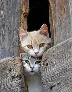kitty cat pair kittens coming out of the barn gatos Cute Cats And Kittens, I Love Cats, Crazy Cats, Cool Cats, Kittens Cutest, Ragdoll Kittens, Tabby Cats, Bengal Cats, Pretty Cats