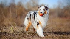 Australian Shepherd - Dog Breeds That Were Ranked The Best For Seniors - Page 12 of 41 - Lady Great Australian Shepherds, Australian Cattle Dog, Australian Shepherd Puppies, Aussie Puppies, Dogs And Puppies, Doggies, Dog Breeds List, Cute Dogs Breeds, Border Collie