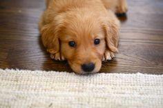 Precious Golden Puppy!