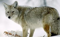 Coyote Hunting. Keeping them away from the Chicken coop