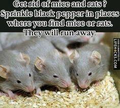 Get Rid Of Mice And Rats - #LifeHack, #Mice, #Rats
