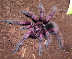 Purple tarantula