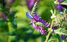 Purple Petaled Flower With Blue Butterfly  Free Stock Photo