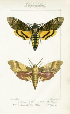 Antique butterfly print.